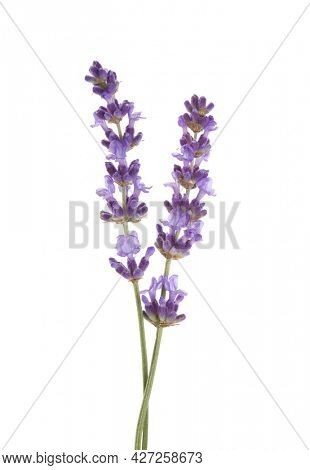 Two sprigs  of lavender isolated on white background.