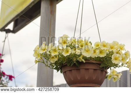Beautiful Lush White Petunias Are Hanging In A Hanging Planter