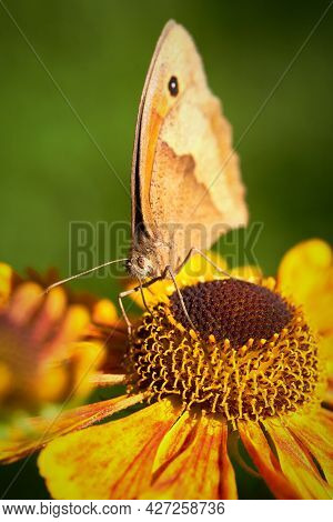 Beautiful Redbrown Oxeye Butterfly Sitting On Orange Flower. Macro