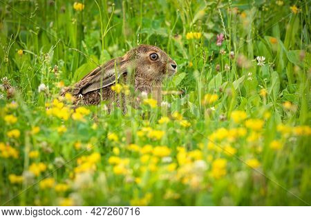 A Brown Hare With Long Ears Hiding In Fresh Green Grass And Yellow Flowers On A Summer Day In A Mead