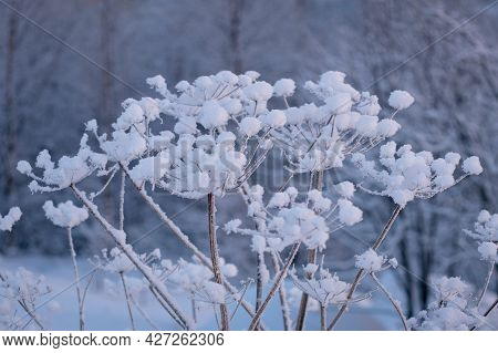 Winter Landscape, Frost On Bushes And Plant Branches, Snow Caps After A Snowfall In Calm Weather In