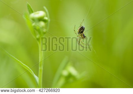 European Spider, Sits On A Web. Green Background, Close-up. Small Predator On The Hunt. Spider On A