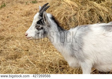 A Small White Goat Is Standing In The Hay In The Aviary. Baby Goat. Photo