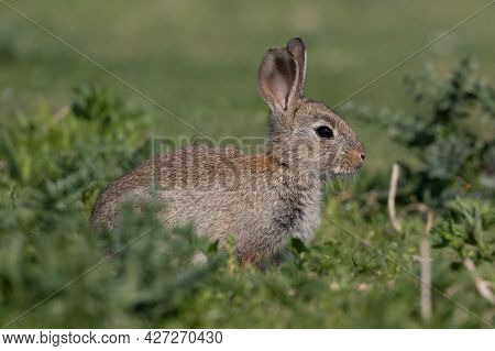 European Rabbit, Common Rabbit, Bunny, Oryctolagus Cuniculus Sitting On A Meadow At Munich Panzerwie