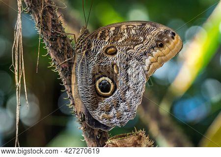 Owl Butterfly ,caligo Eurilochus.beautiful Brown Tropical Butterfly In A Botanic Garden