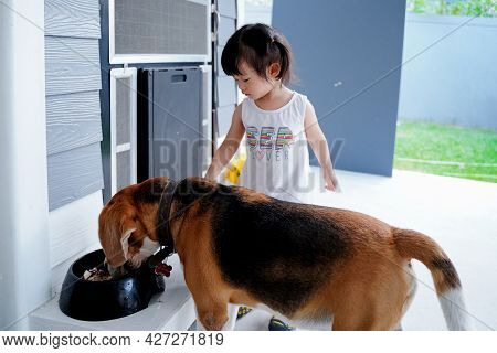 Asian Baby Girl Feeding Beagle Dog At Home In Front Dog Home.dog Eating Food In The Black Bowl.