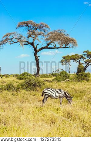 Lone zebra grazes in the African savannah at the foot of Kilimanjaro. Southeast Kenya, the Amboseli park. Amboseli is a biosphere reserve by UNESCO. Trip to the Horn of Africa