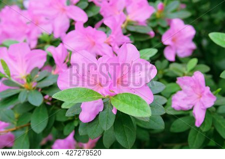 Azaleas In Springtime. Blooming Pink Azalea Flowers Close-up In A Botanical Garden. Azalea Festival.