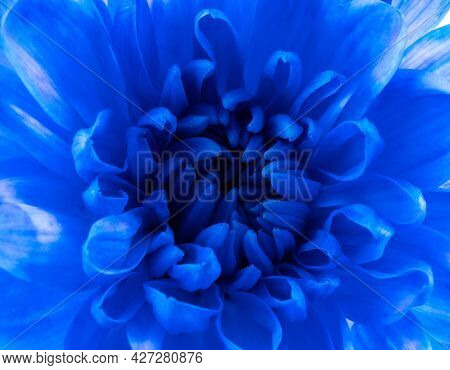 Blue Chrysanthemum Macro. Red Flower Macro. Close Up Flower. Abstract Background Background.