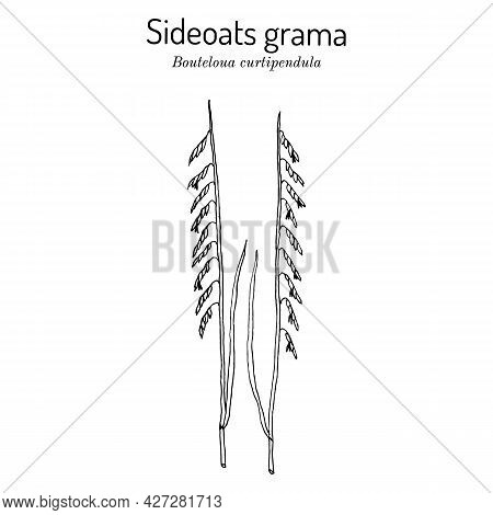 Sideoats Grama Bouteloua Curtipendula , Official State Grass Of Texas. Vector Hand Drawn Illustratio