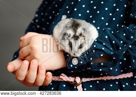 The Kid Holds A Grey Hamster In His Hands. Hands Of A Child With A Cute Fluffy Little Pet.