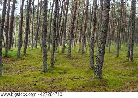 An Image Of A Dancing Forest On The Curonian Spit In The Kaliningrad Region In Russia.