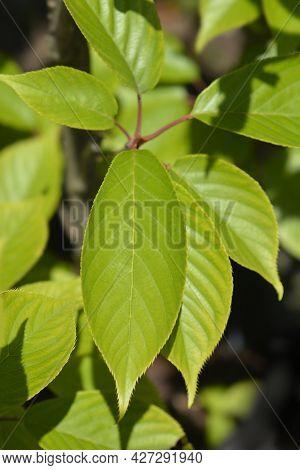 Japanese Flowering Cherry Kanzan Leaves - Latin Name - Prunus Serrulata Kanzan