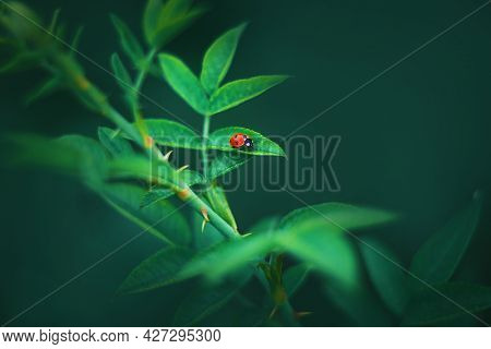 A Small Spotted Red Ladybug Sits On A Green Leaf Growing On A Prickly Rose Stalk On A Summer Day. Ma