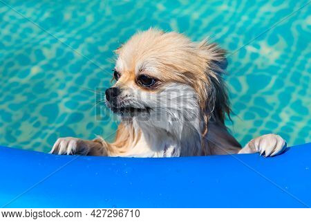 Pomeranian Spitz Swims In The Pool. Dog In The Water.