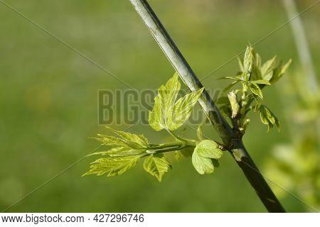 Boxelder Maple Branch With New Leaves - Latin Name - Acer Negundo