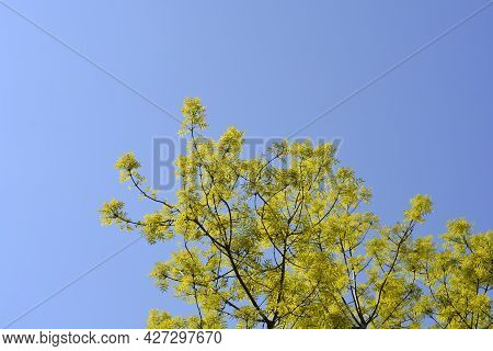 White Ash Branches Against Blue Sky - Latin Name - Fraxinus Americana