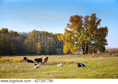 Cows Graze And Rest In An Autumn Meadow In Front Of The Forest