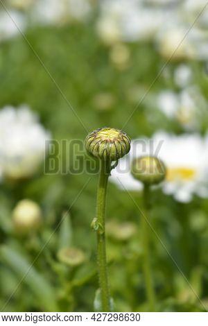Shasta Daisy Dwarf Snow Lady Flower Bud - Latin Name - Leucanthemum X Superbum Dwarf Snow Lady