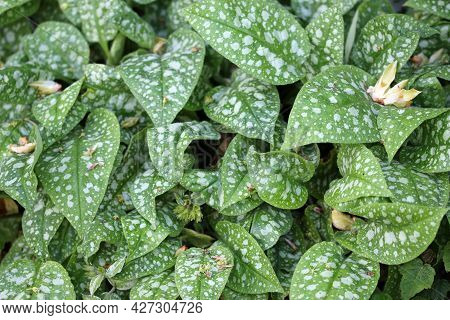 Spotted Leaves Of Lungwort, Pulmonaria Angustifolia Variety Hazel Kayes Red, In Close Up With No Bac