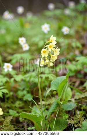 Primula Elatior On A Spring Meadow, Selective Focus. Primrose In The Natural Environment.