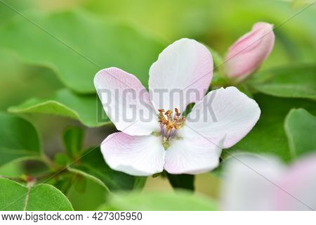Branch Of A Blossoming Quince Of Oblong (cydonia Oblonga) On A Natural Background