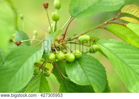 Closeup Branch Of The Cherry Tree With Unripe Berries (prunus Avium)