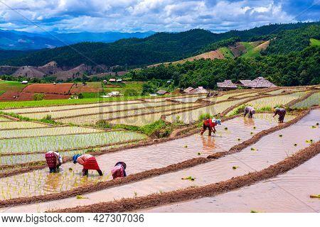Farmer Transplant Rice Seedlings In Rice Terraced Field At Ban Pa Bong Piang, Chiang Mai, The North