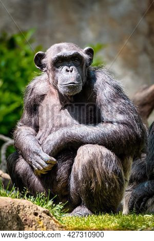 Portrait of a chimpanzee monkey ape from Africa in jungle tropical rainforest