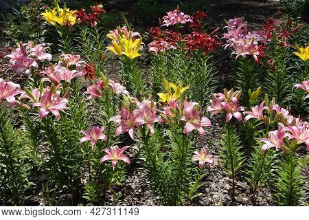 Pink, Red And Yellow Flowers Of Lilies In Mid June