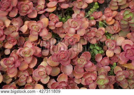 Fleshy Red Leafage Of Sedum Spurium In August
