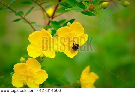 Bee Feeding On Pollen And Nectar In A St John's Wort Yellow Garden Flower