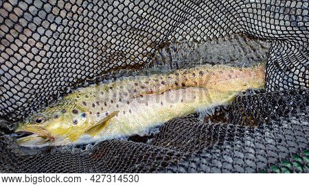 A Brown Trout In A Fishing Net And Water With A Fly In It's Mouth