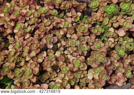 Green And Pink Leafage Of Sedum Spurium In Mid July