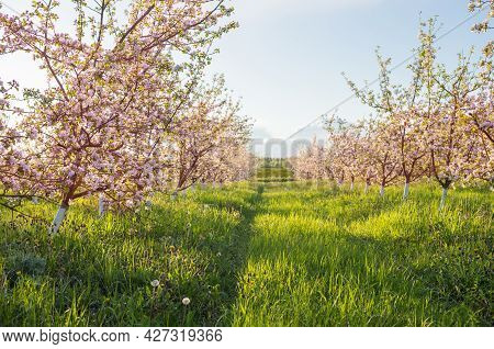The Spring Flowering Apple Orchard In Sunlight
