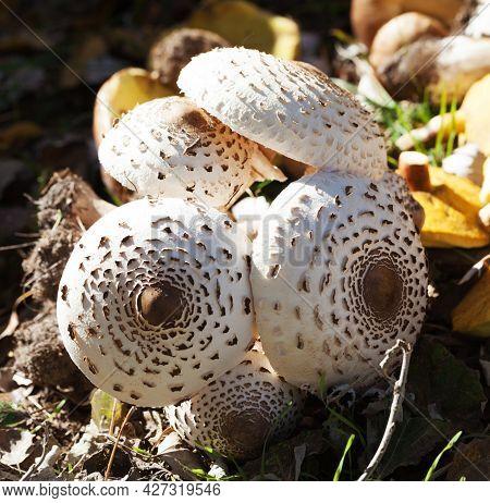 Young Parasol Mushrooms (macrolepiota Procera Or Lepiota Procera), Ceps And Suillus On Background. H