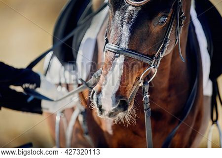 Portrait Sports Stallion In The Bridle. The Nose Of A Bay Horse With A White Groove On The Muzzle. H