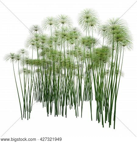 3D Rendering Papyrus Plants On White