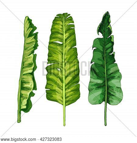 Palm Green Fresh Banana Leaf Different View. Vintage Vector Hatching Color Hand Drawn Illustration I
