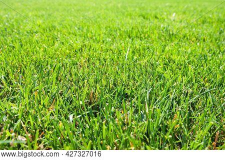Green Grass Background. Close-up. Green Grass Texture. Green Grass Surface