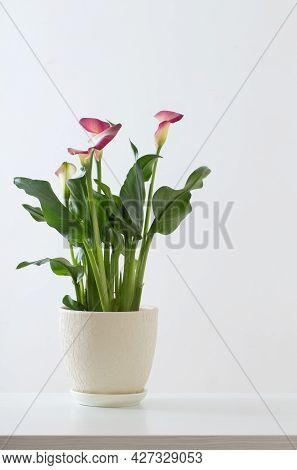 Pink Calla Lily In Flower Pot On White Background