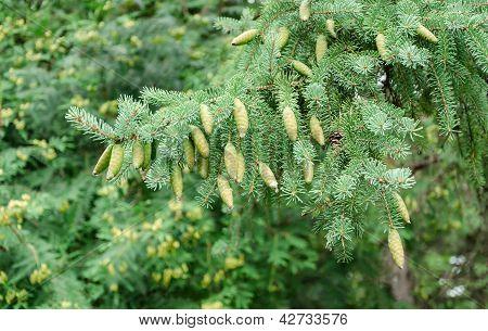 the big branch of fir tree