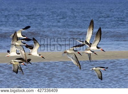 Flock Of Black Skimmers Flying Over Sand Bar