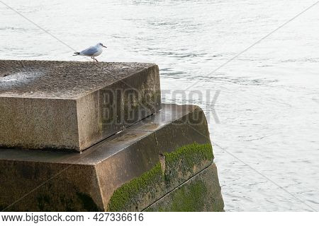 Seagull Looking To The Thames River At London, Uk, Europe. Solitude Concept