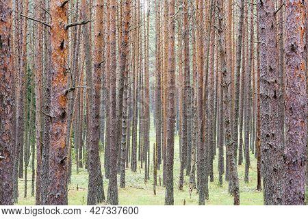 Summer Pine Forest, Pine Trunks, Natural Landscape, Summer Day.