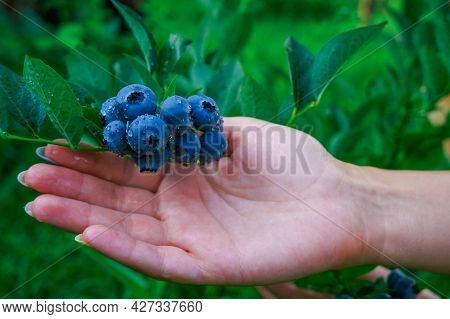 Female Hand Gathering Blueberries. Harvesting Berry Concept.
