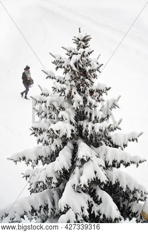 Single Big Spruce With Branches All Covered With Snow And Lonely Pedestrian In Snowfall