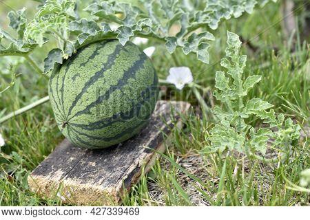 Green Beautiful Watermelon Fruit Seedlings In The Field