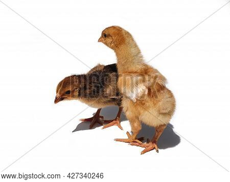 Two Brown Chicken Chicks, Small Hens, Two Weeks Old. Small Brown Chickens With Shadow Isolated On Wh