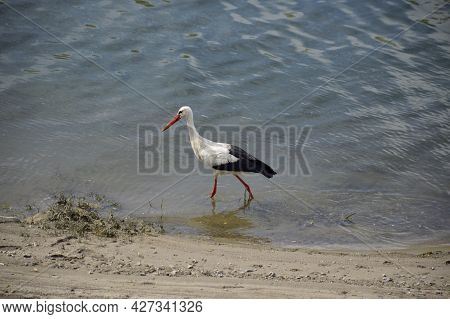 A Wild Stork Walks Along The River Bank In Search Of Food, Storks Are Birds That Remain Faithful All